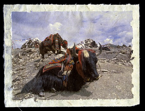 Yaks atop the Chog La, Tibet, 2000.