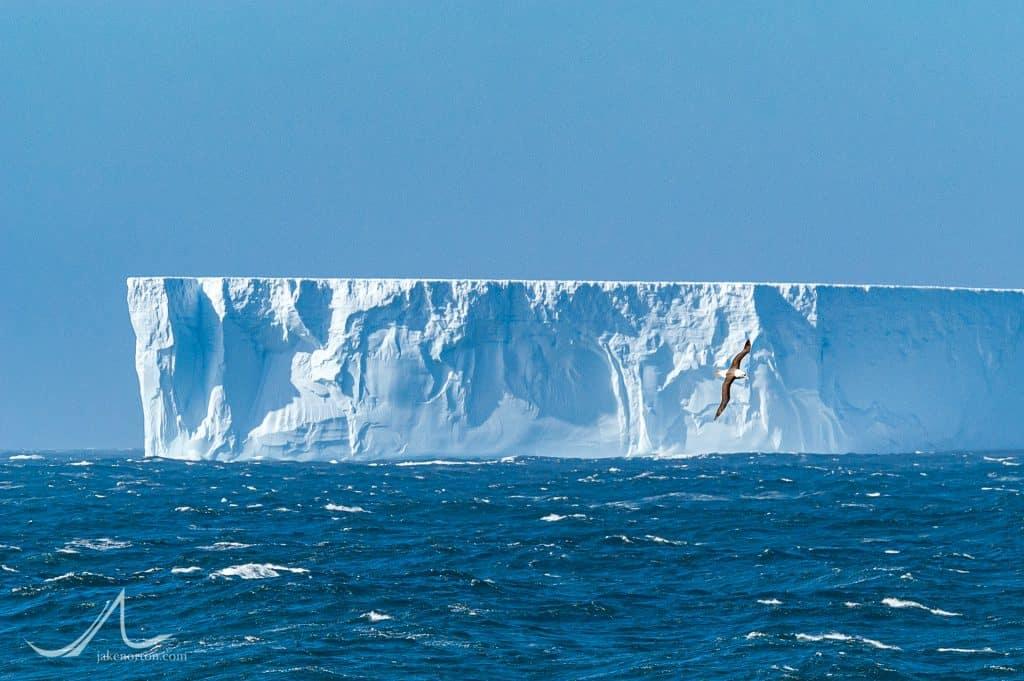 A Black-browed albatross flies in front of a massive iceberg broken off from the Larsen Ice Shelf in Antarctica floats in open waters of the South Atlantic Ocean near South Georgia.