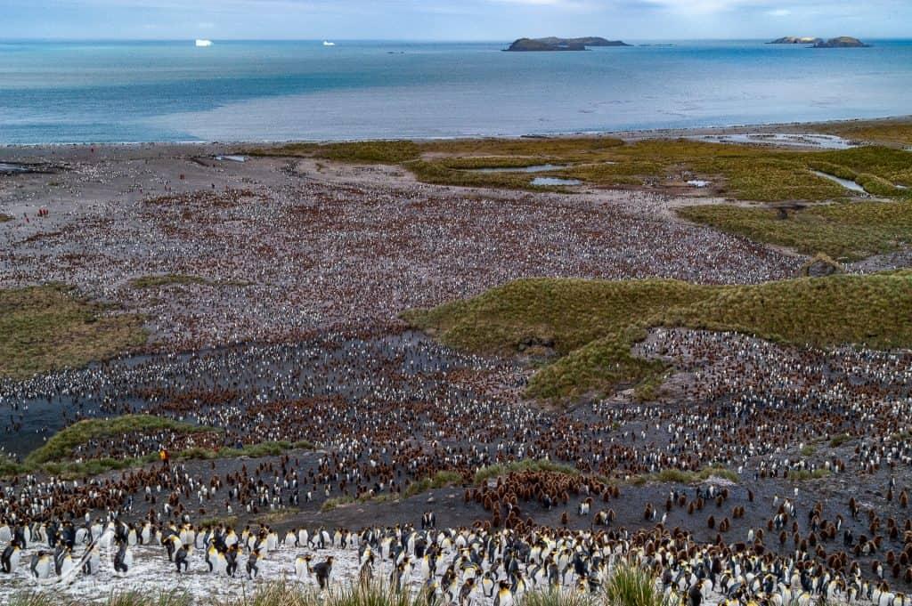 King penguin (Aptenodytes patagonicus) colony at Salisbury Plain, South Georgia.