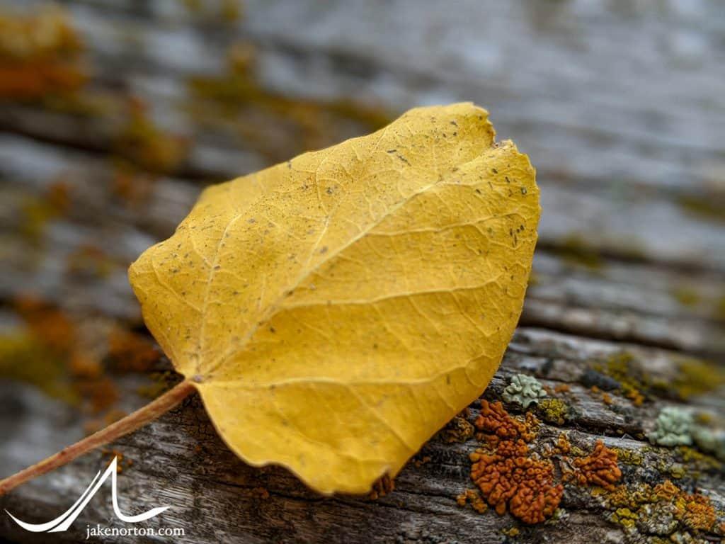 Aspen leaf and lichen.